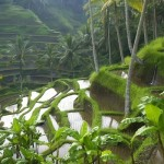1440_Rice Paddy Terraces in Bali, Indonesia